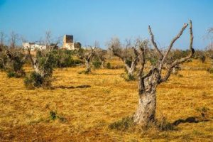 olive tress dessicatted by xylella virus in Puglia, Italy