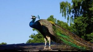 peacock showing off, exaggerate, showman, misleading,