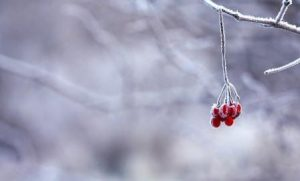tiny bunch of red berries on snowy twigs
